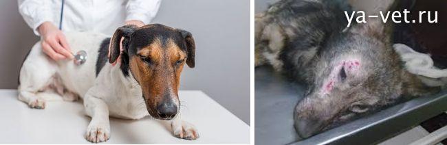 болезни собак и их симптомы и лечение
