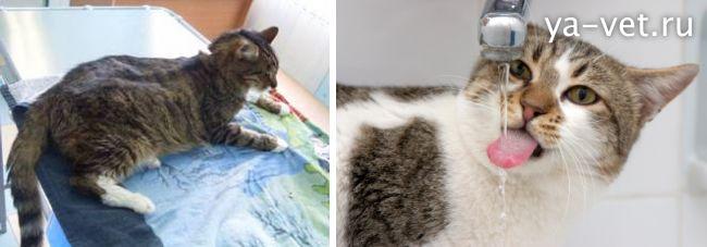 хпн у кошек лечение
