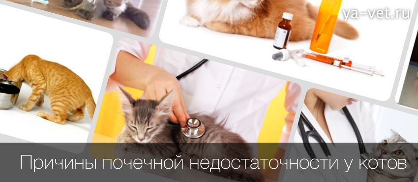 Почечная недостаточность у кошек, симптомы, лечение, ОПН, ХПН