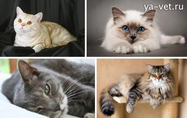 кальцивироз у кота симптомы и лечение