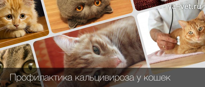 Лечение кальцивироза у кошек симптоматика и профилактика