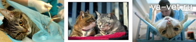 кастрировать кота