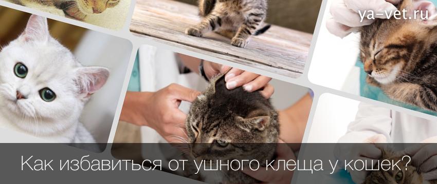 Как избавиться от ушного клеща у кошек