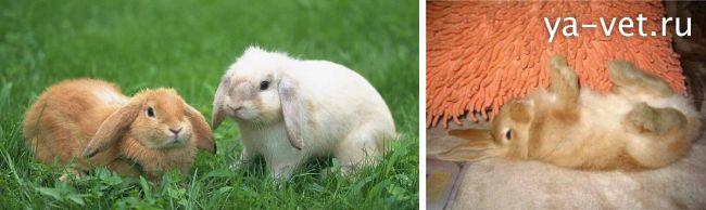 кокцидиоз у кроликов симптомы и лечение