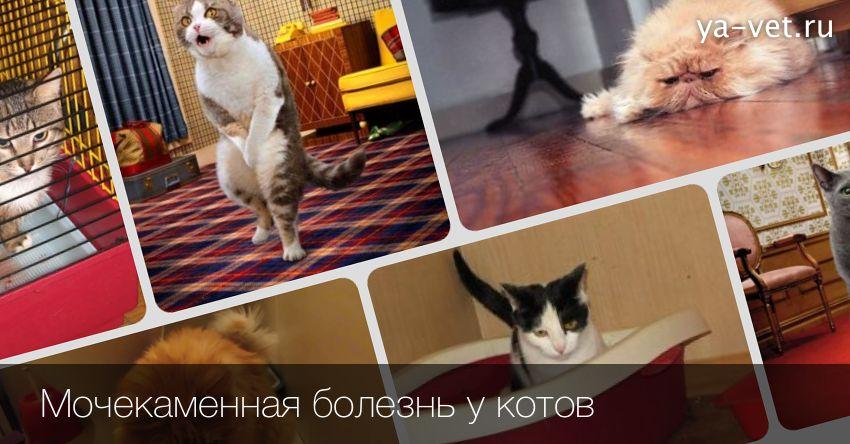 МКБ у котов - симптомы, лечение, профилактика в домашних условиях мочекаменной болезни