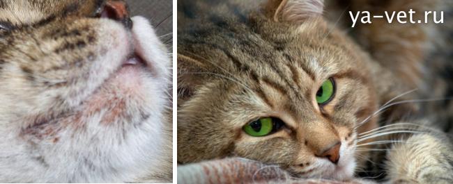 подкожный клещ у кошек лечение