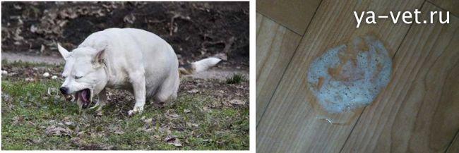 рвота у щенка что делать