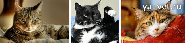 сахарный диабет у кошек симптомы и лечение