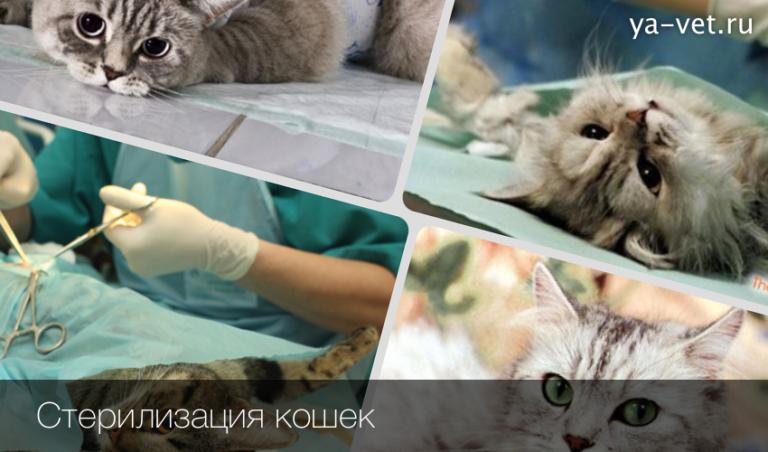 Как стерилизовать кошек в домашних условиях