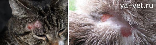 стригущий лишай у кошек лечение