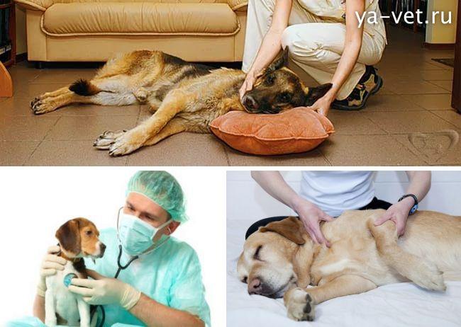 судороги у собаки причины и лечение