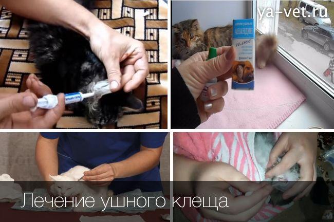 ушной клещ у кошек лечение