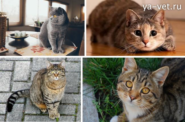 власоеды у кошек лечение