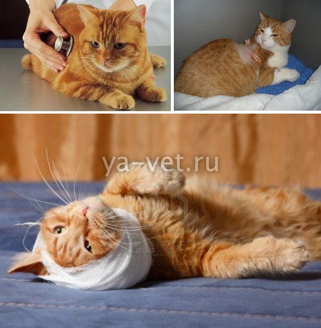 абсцесс у кошки
