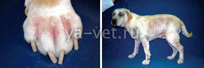 атопический дерматит у собак лечение