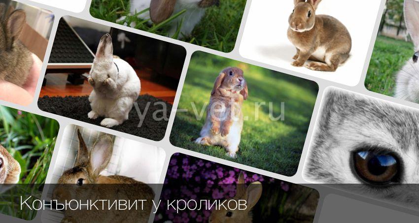 Чем лечить коньюктивит у кроликов