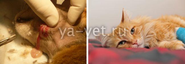 чем обработать рану коту