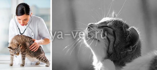 чесотка у кошек лечение