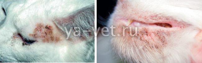 дерматит у кошек лечение