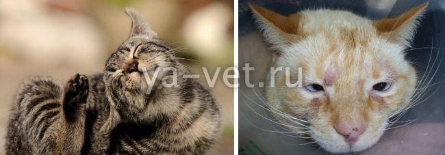 дерматит у кота