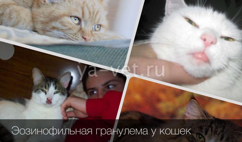 Эозинофильная гранулма у кошек причины симптомы и способы лечения заболевания
