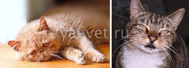 эпилепсия у кошек симптомы