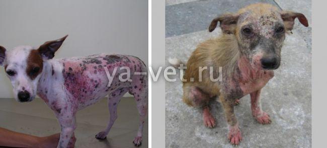 как долго лечится саркоптоз у собаки