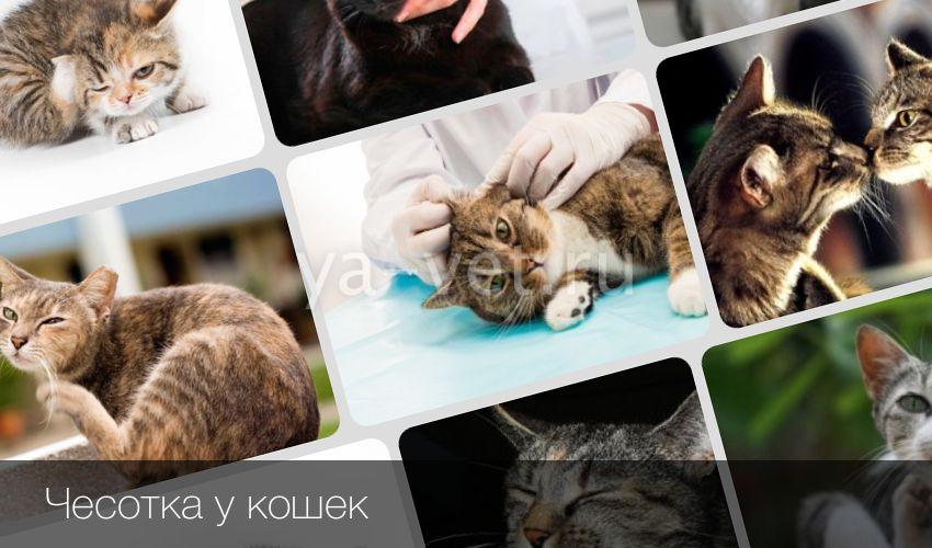 Чесотка у котов симптомы и лечение