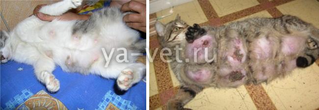 как лечить мастит у кошки