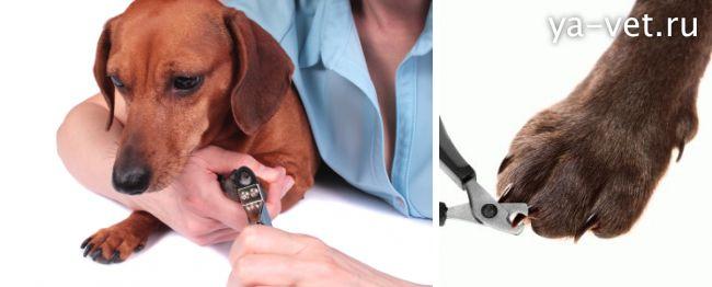как подстричь ногти собаке