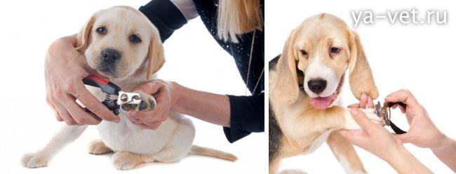 как правильно подстричь когти собаке
