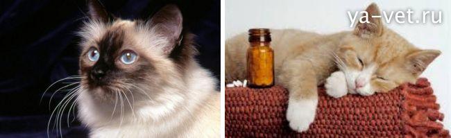 кальцивироз у кошек лечение