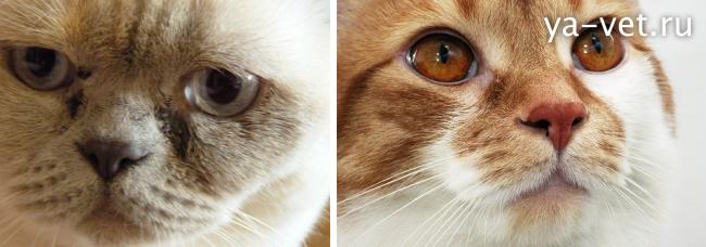 конъюнктивит у кошек лечение
