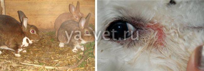 конъюнктивит у кроликов лечение