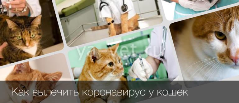 коронавирус у кошек симптомы фото