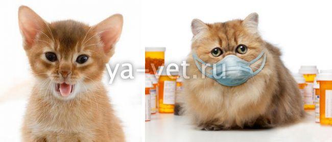 кошка кашляет и хрипит
