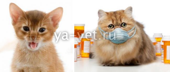 Если кот постоянно кашляет
