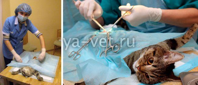 лапароскопия кошки