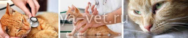 лейкемия у кошек симптомы