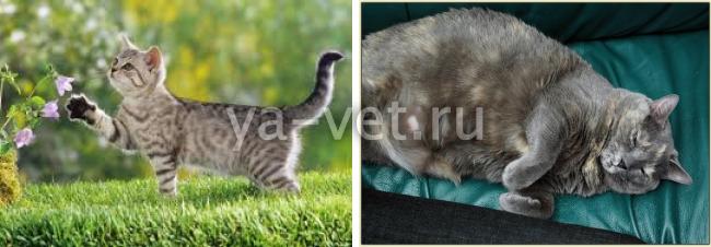 мастит у кошки лечение