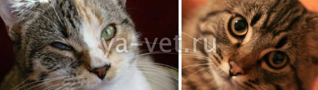 Микоплазмоз у кошек симптомы и лечение