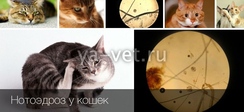 Нотоэдроз у кошек симптомы и методы лечения в домашних условиях