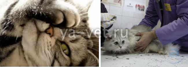 онкология у кошек симптомы и лечение
