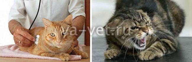основная прививка от бешенства у кошек