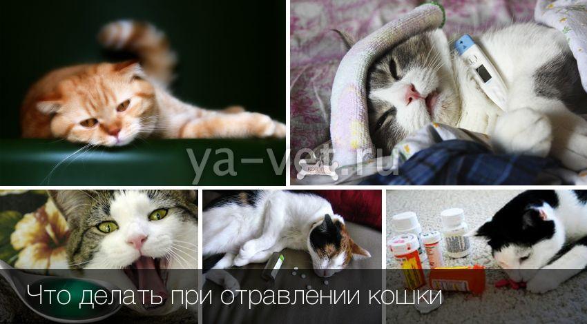 Что делать при отравлении кошки или кота