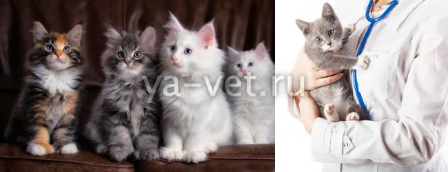 первая прививка котенку в каком возрасте