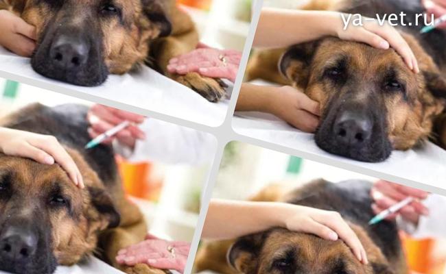 пироплазмоз у собак симптомы лечение