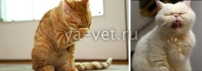 почему кошки кашляют с хрипом