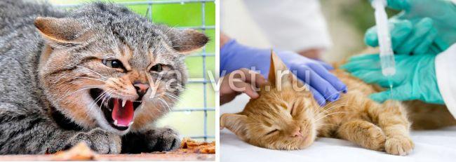 прививка от бешенства коту