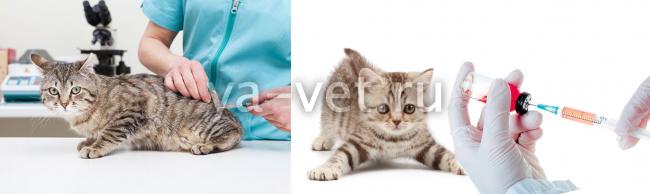 прививки кошкам график
